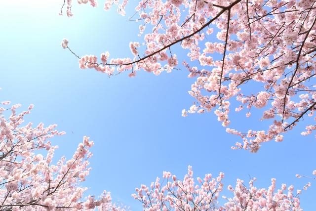 大府の桜まつり