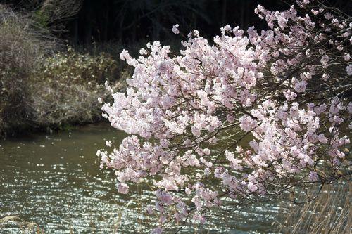 安城桜まつり