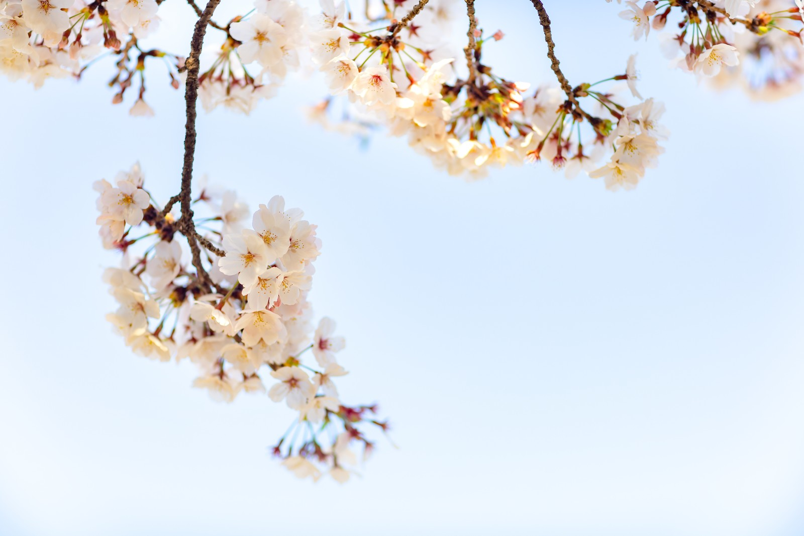 常盤平桜祭り