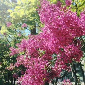 札幌ライラック祭り